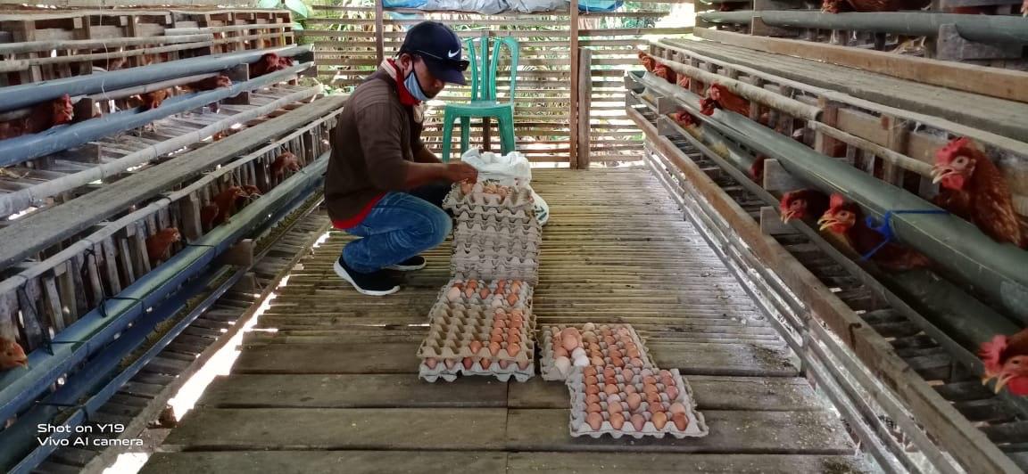 SHG Ayam Petelur
